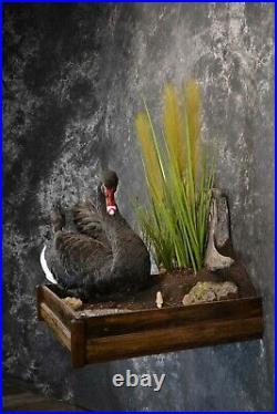 SKU 1200 Black Swan Taxidermy Mount AMAZING